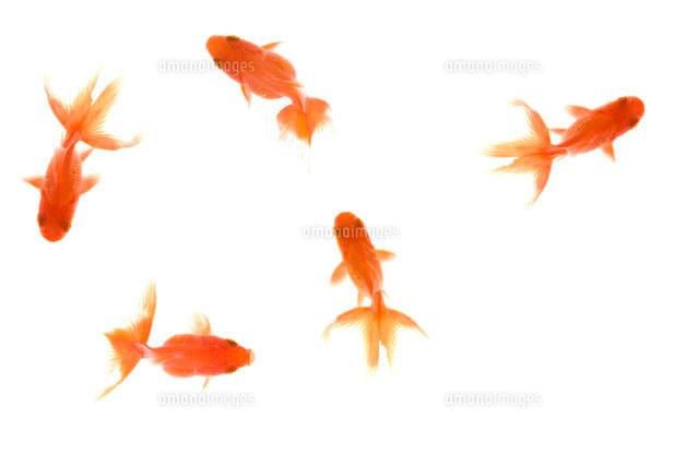 金魚[07800011234]| 写真素材 ...