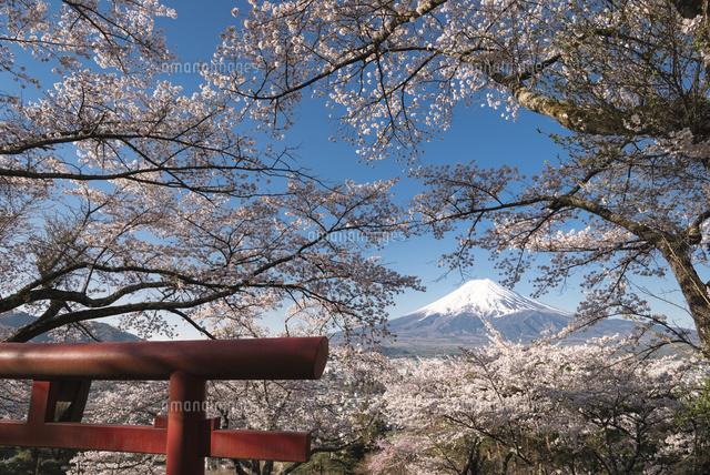 富士見孝徳公園より望む鳥居と満開の桜越しの富士山