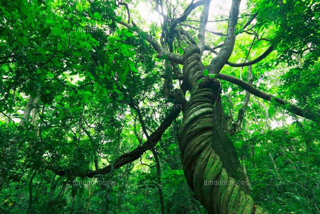 ジャングルの木々 フィジー[11019022560]の写真素材・イラスト素材